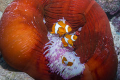 Clown Anemonefish. Three Clown Anemonefishes with Anemone in the Great Barrier Reef Stock Image