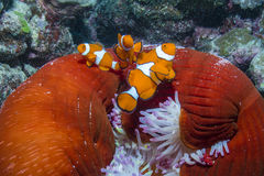Clown Anemonefish. Three Clown Anemonefishes with Anemone in the Great Barrier Reef Stock Photography