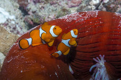 Clown Anemonefish. Two Clown Anemonefishes with Anemone in the Great Barrier Reef Stock Photos