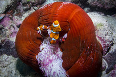 Clown Anemonefish. Two Clown Anemonefishes with Anemone in the Great Barrier Reef Royalty Free Stock Images