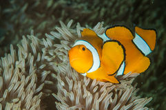 Clown anemonfish Amphiprion ocellaris is swimming in Gorontalo, Indonesia underwater photo. Also known as the ocellaris clownfish and false percula clownfish royalty free stock images