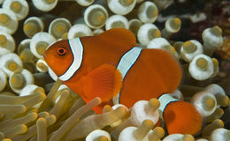 Clown anenomefish Lizenzfreies Stockfoto