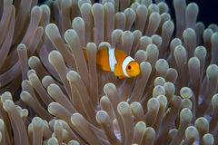 Clown Animonefish Royaltyfria Bilder