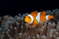 Clown Animonefish Royaltyfri Fotografi