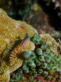 Clown Blenny Lizenzfreies Stockbild
