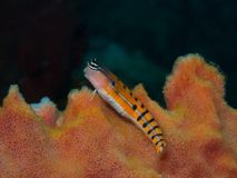 Clown Blenny Royalty Free Stock Photo