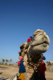 Clown camel. Clown dromedary in marsa alam egypt for amousement tourists Stock Photography