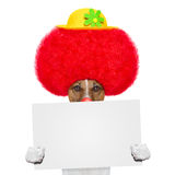 Clown dog with red wig and hat Stock Photos