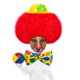 Clown dog with red wig and hat. Clown dog with red wig and nose holding a ball Royalty Free Stock Images