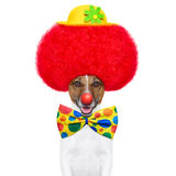 Clown dog with red wig and hat Royalty Free Stock Photography