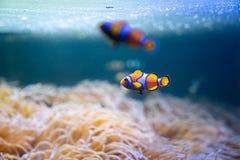 Clown- eller Anemone Fish bad runt om havsanemoner i havet royaltyfria bilder