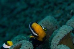 Clown-Fische Stockbild