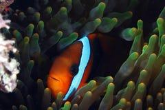 Clown-Fische Stockfotos