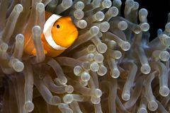 Clown-Fische stockfotos