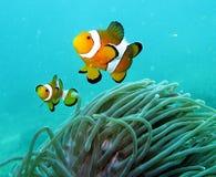 Clown-Fische im Korallenriff Lizenzfreie Stockfotos