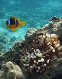 Clown Fische und anenomie Lizenzfreies Stockfoto