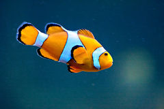 Clown fish. A clown anemonefish swimming in blue water Royalty Free Stock Photography
