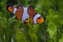 Clown Fish Stock Photography