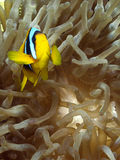 Clown fish. And anemone in red sea Royalty Free Stock Photos