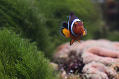Clown fish. Amphiprion. The sad small fish - the clown swims in loneliness on a green background Royalty Free Stock Photos