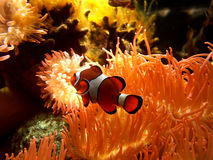 Clown fish. Taken in the reef Stock Photo