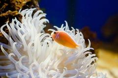 Free Clown Fish Stock Photography - 17481332