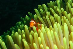 Clown Fish. Vibrant soft corals and Clown fish darting amongst the stinging tentacles of the Sea Anemone royalty free stock photography