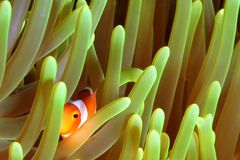 Clown Fish. Vibrant soft corals and Clown fish darting amongst the stinging tentacles of the Sea Anemone stock photography