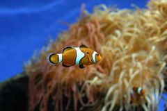 Clown fish. In blue tank stock image