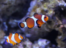 Clown fish royalty free stock photos