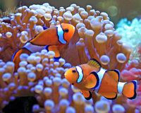Clown fish. Swimming among the soft coral Royalty Free Stock Photo