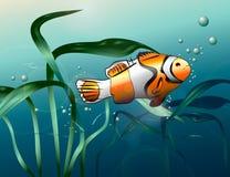 Clown fish. Swimming in deep ocean Royalty Free Stock Images