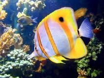 Clown fish Stock Image