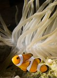 Clown Fish 3. Image of clown fish with anemone Stock Images