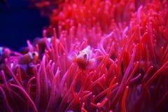 Clown Fish Royaltyfria Bilder