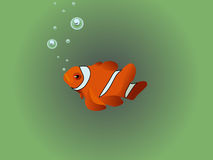 Clown Fish. Orange and black tropical clown fish Stock Photography