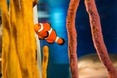 Clown Fish Royalty-vrije Stock Fotografie