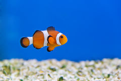Clown Fish photographie stock