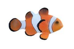 Clown Fish royalty-vrije stock foto