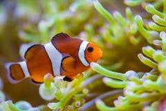 Clown Fish Stock Foto
