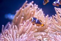 Clown Fish lizenzfreies stockbild