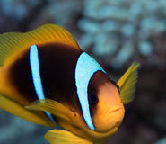 Clown Fish Stock Afbeelding