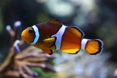 Clown fish Stock Photos