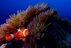 Clown fish. Scuba diving photo clown fish nemo/nimo picture taken in okinawa japan royalty free stock images