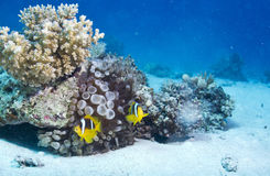 Clown Fish Photo libre de droits