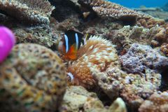 Clown Fish Stock Afbeeldingen