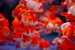 Clown fish. Japanese Koi in aquarium Stock Photography
