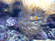 Clown Fish Stockbilder
