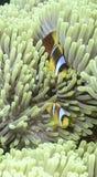 Clown Fish Lizenzfreies Stockfoto