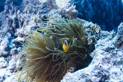 Clown Fish in actinia Stock Images